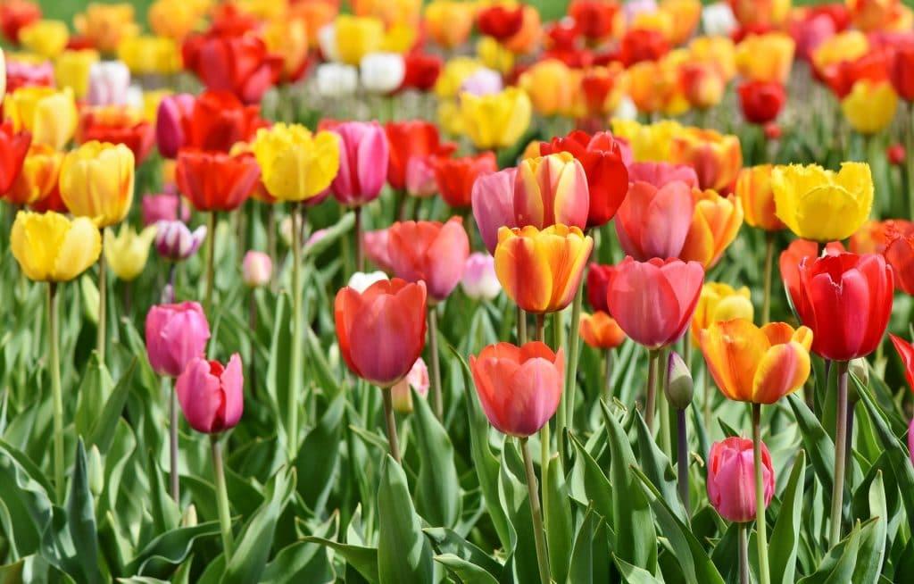 tulips-1920